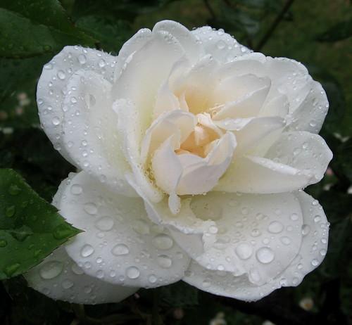 Little Spring Rose, Adelaide _0873_2