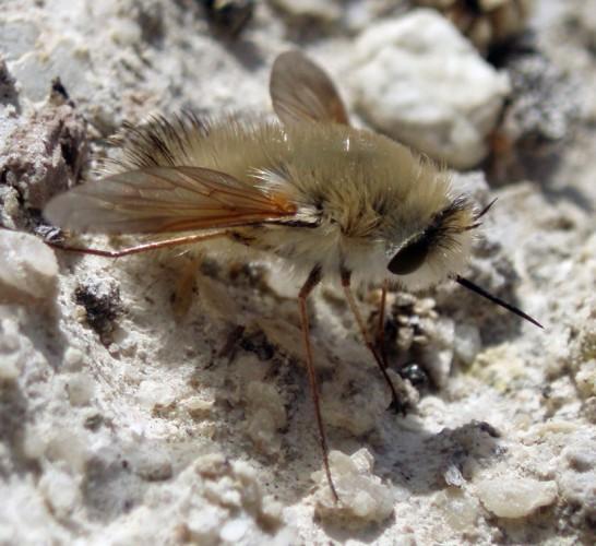 Anastoechus nitidulus 2983067351_b2b8fe992e_o