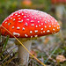 Fly Agaric - Photo (c) Marc-André Jung, some rights reserved (CC BY-NC-SA)