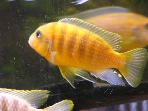 Yellow Cichlid