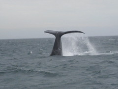 animal, marine mammal, whale, sea, ocean, wind wave,