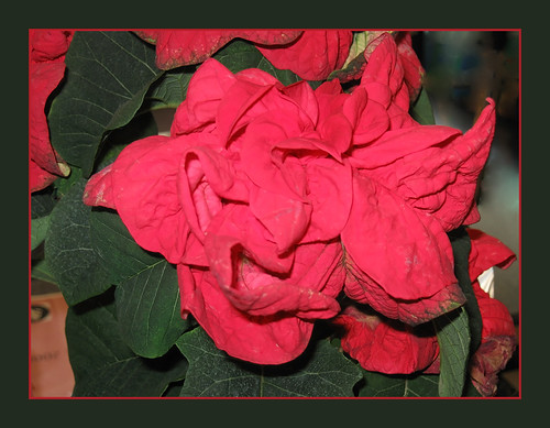 """curly"" poinsettia..."
