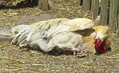 Sleeping chicken