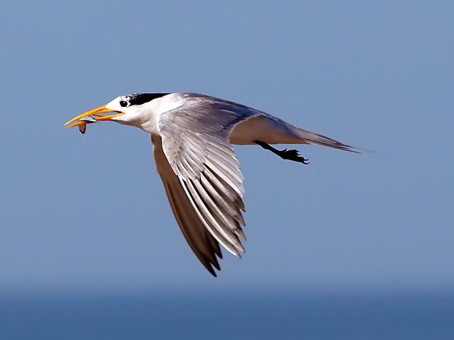 E-3 Lesser Crested Tern الخرشنة المتوجة