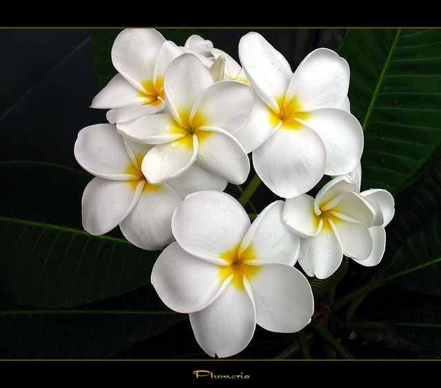 Florida Flowers - A Plumeria From Florida