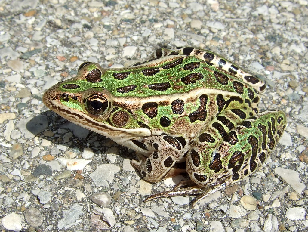 A study on the leopard frog rana pipiens