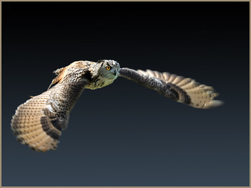 Eagle owl out hunting - shot in July 2008