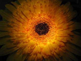 Night Light Gerbera