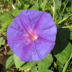 annual plant, ipomoea violacea, flower, purple, plant, wildflower, flora, four o'clocks, petal,