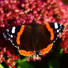 Kelvingrove Park Butterfly 4