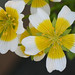 Douglas' Meadowfoam - Photo (c) Philip Bouchard, some rights reserved (CC BY-NC-ND)