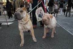dog breed, animal, dog, pet, guard dog, shar pei, carnivoran,