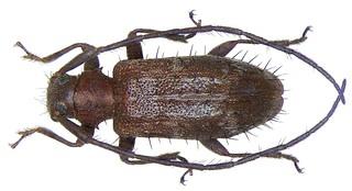 Exocentrus cudraniae Fisher, 1932