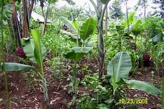 Intercropping, village outside of Keroka, Kisii