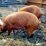 Pigs, Hackney City Farm, Hackney, London.JPG