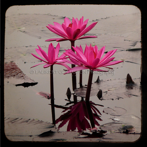 pink india flower water colours lotus shanti भारत indiasong articulateimages