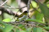 Togian White-eye, first ever picture in the field by Filip in Asia