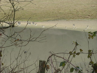 Sheep reflected in floodwater