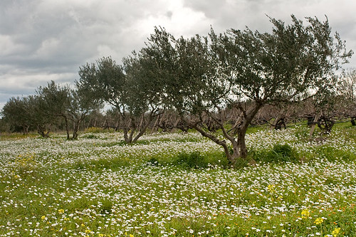 Olive-trees, grape-vines and daisies