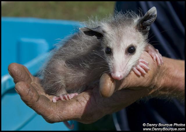 #0623 Baby Opossum   F...