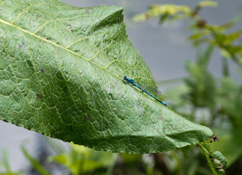 Damsel fly resting on a dock leaf