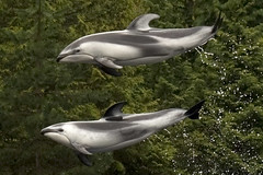 common bottlenose dolphin(0.0), short-beaked common dolphin(0.0), spinner dolphin(0.0), stenella(0.0), rough-toothed dolphin(0.0), tucuxi(0.0), animal(1.0), marine mammal(1.0), marine biology(1.0), fauna(1.0), dolphin(1.0),