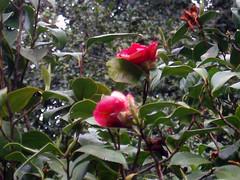 shrub(0.0), camellia sasanqua(0.0), produce(0.0), camellia japonica(0.0), flower(1.0), plant(1.0), flora(1.0), theaceae(1.0),