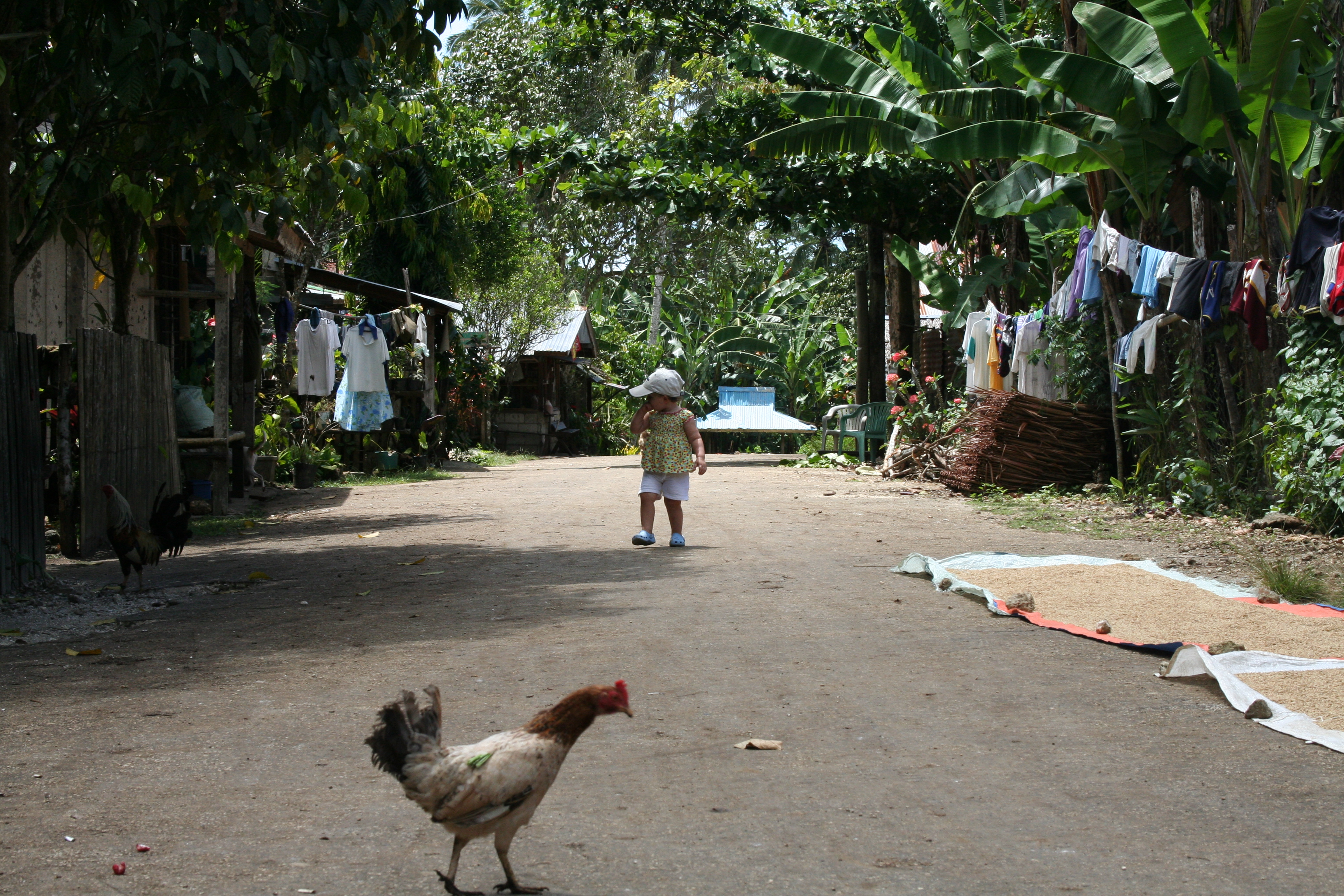 2427447314_e1bdbccc03_o - Why did the chicken cross the road? - Philippine Photo Gallery