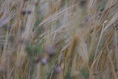 emmer, hordeum, agriculture, triticale, einkorn wheat, rye, food grain, field, barley, wheat, plant, food, crop, cereal,