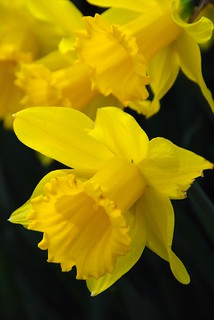 Probably the Last Daffodils Shot of the Season!