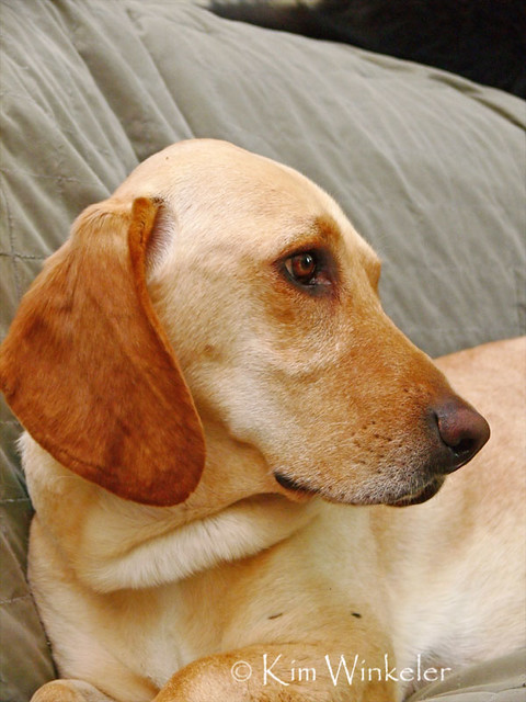 basset hound mixed breeds