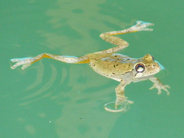 Swimming Tree Frog Flickr Photo Sharing