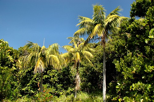 Endemic Howea Forsteriana - North Bay Mt Eliza,Lord Howe Island