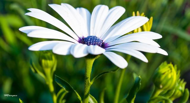 flowers_African Daisy.jpg
