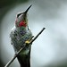 Anna's Hummingbird - Photo (c) , all rights reserved