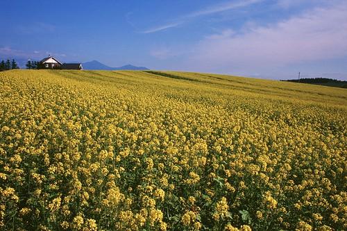 film japan nikon hokkaido 北海道 fujifilm f80 rvp100f 油菜花 flowersofrape かんの農場