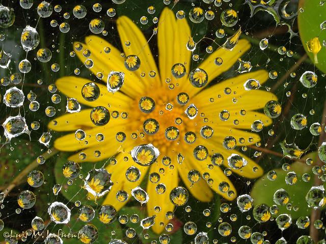 Tela de araña en flor - Web spider in flower