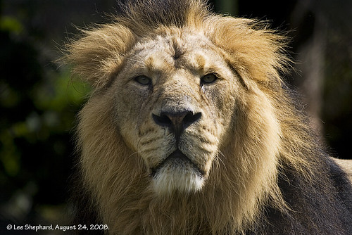 Asiatic Lion, Chester Zoo