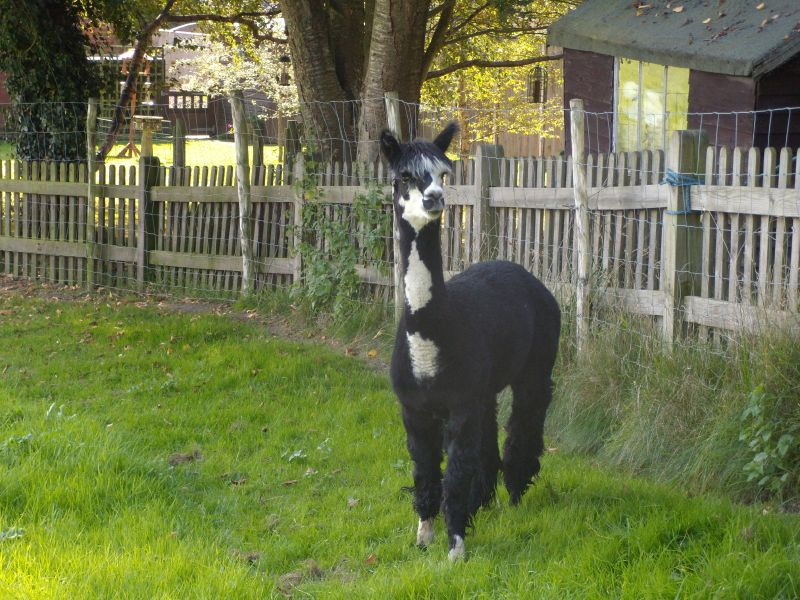 my little alpaca Hurst Green to Chiddingstone Causeway