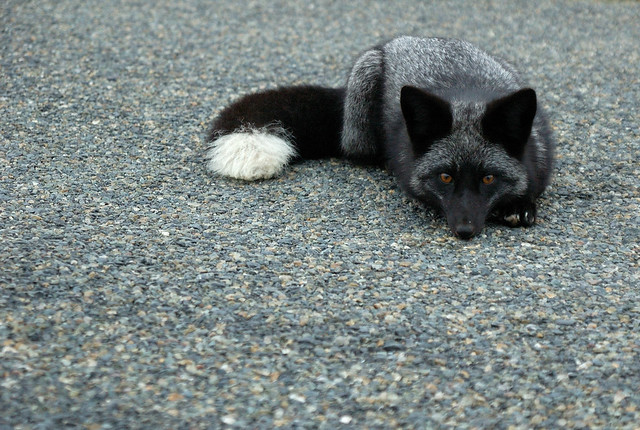 Silver fox kit - photo#1