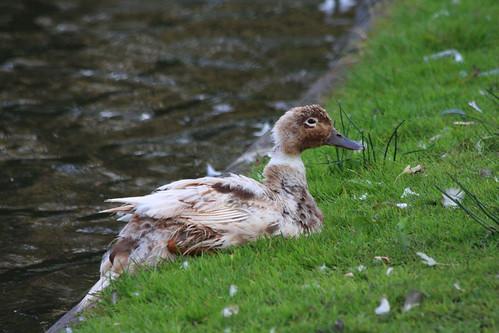 sick-duck