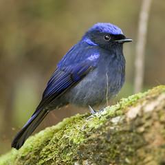 animal, nature, fauna, bluebird, emberizidae, beak, bird, wildlife,