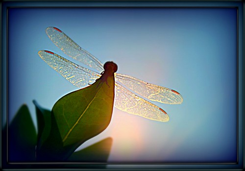 ~Happy Dragonfly Monday Blues~