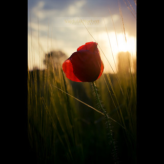 Red poppy in sunset