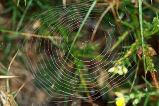 Tela de araña con rocio