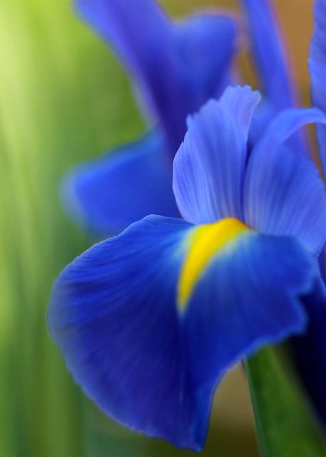 Un bouquet de lys bleu flickr photo sharing for Bouquet de lys