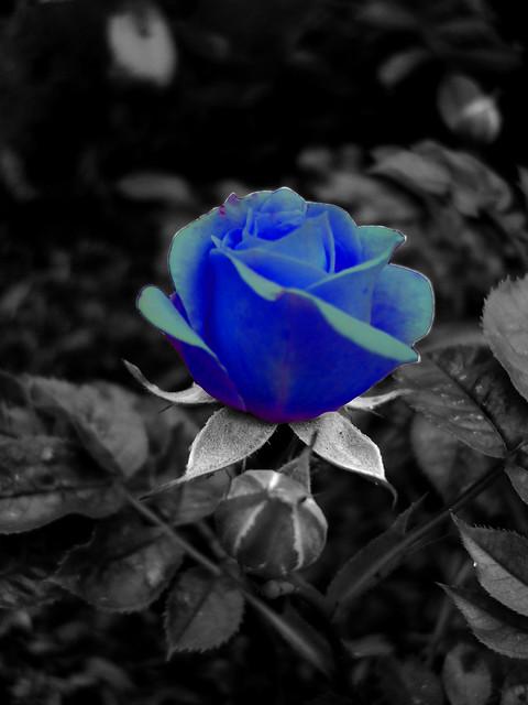Black Blue Roses