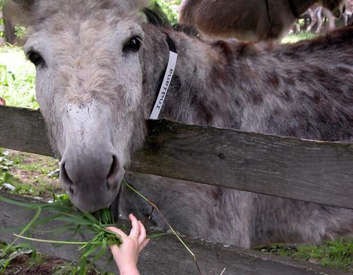 Donkey Day 2008: Watch them Fingers!!! by JohnnyBallgame