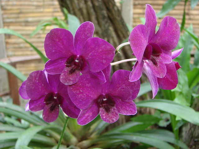 Jard n bot nico de guayaquil orquideas lila orquideas for Jardines de orquideas