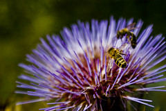 honey bee, pollen, flower, purple, thistle, plant, nature, invertebrate, macro photography, membrane-winged insect, wildflower, flora, fauna, close-up, bee, bumblebee, petal,
